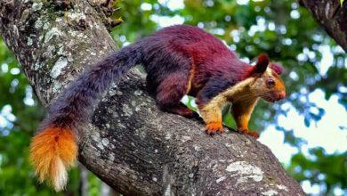 Photo of ये गिलहरी लोगों को कर सकती है अपने वश में, नज़दीक जाने पर करती है ये…