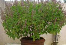 Photo of इस तरह तुलसी का पौधा लगाने से आपको मिलेगी शुभाशुभ फल की प्राप्ति