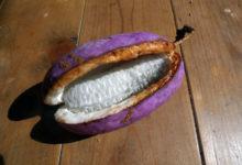 Photo of AKEBI : जानिए दुनिया के सबसे अजीबोगरीब बैंगनी फल के बारे में
