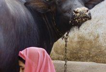 Photo of दूध निकालते समय महिला पर गिरी भैंस, आगे जानिए महिला को क्या हुआ