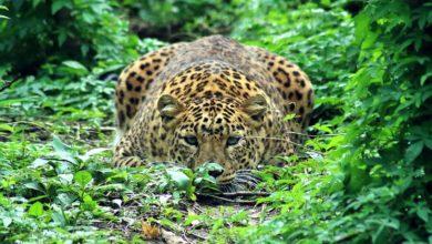 Photo of Leopard attack : मासूम को दूध पिला रही थी मां, अचानक उठा ले गया तेंदुआ