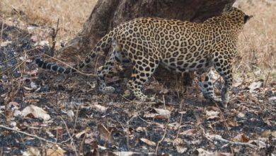 Photo of पिथौरागढ़ में आदमखोर तेंदुए ने किया 11 साल की मासूम पर हमला, मौत