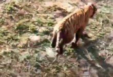 Photo of राजाजी टाइगर रिज़र्व में बाघ ट्रांसलोकेशन को लेकर एनटीसीए ने रखा अपना पक्ष