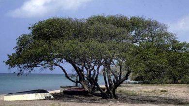 Photo of दुनिया के 5 सबसे खतरनाक पेड़, जो पल-भर में ले सकते हैं आपकी जान
